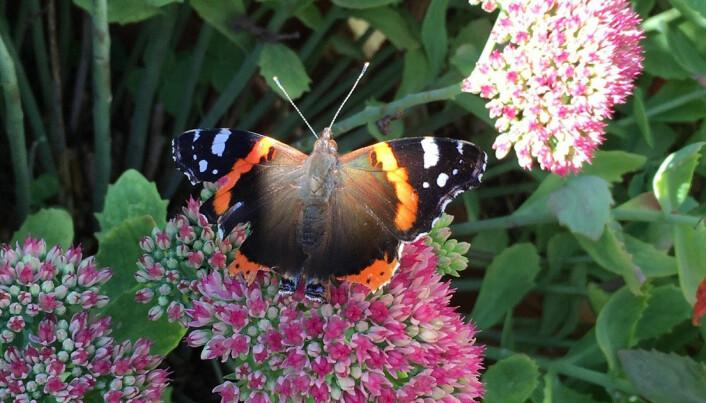 En av sommerfuglene hadde dype flenger i vingene. Et ublidt møt med en av nabolagets katter, kanskje?