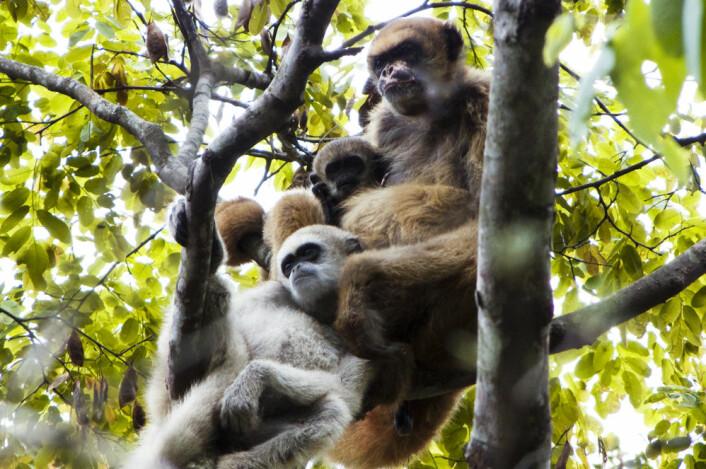 En muriqui-mor sammen med et av sine spedbarn - og en av sine unge sønner. Mødrenes blotte tilstedeværelse bidrar til at unge hanner finner hunner som ikke er i nær slekt, til rett tidspunkt. Motiv fra Brasil, 2011. (Foto: Carla B. Possamai/University of Wisconsin-Madison)
