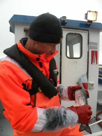 Peter A. Heuch sjekker for lakselus. (Foto: (Foto Anne Kristin Jøranlid))