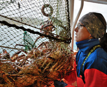Både her til lands og i verden ellers er kongekrabbe den eneste introduserte arten som fanges kommersielt. Forsker Ann-Merete Hjelset har konstatert at krabben blir mindre fruktbar. (Foto: Gunnar Sætra)