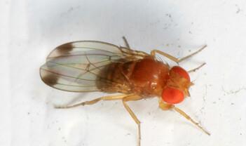 Med utstyret i orden – ei flue med sag