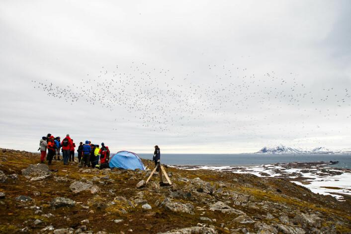 På det meste kan det fly over en million fugler rundt kolonien ved Hornsund. (Foto: Espen Bergersen)