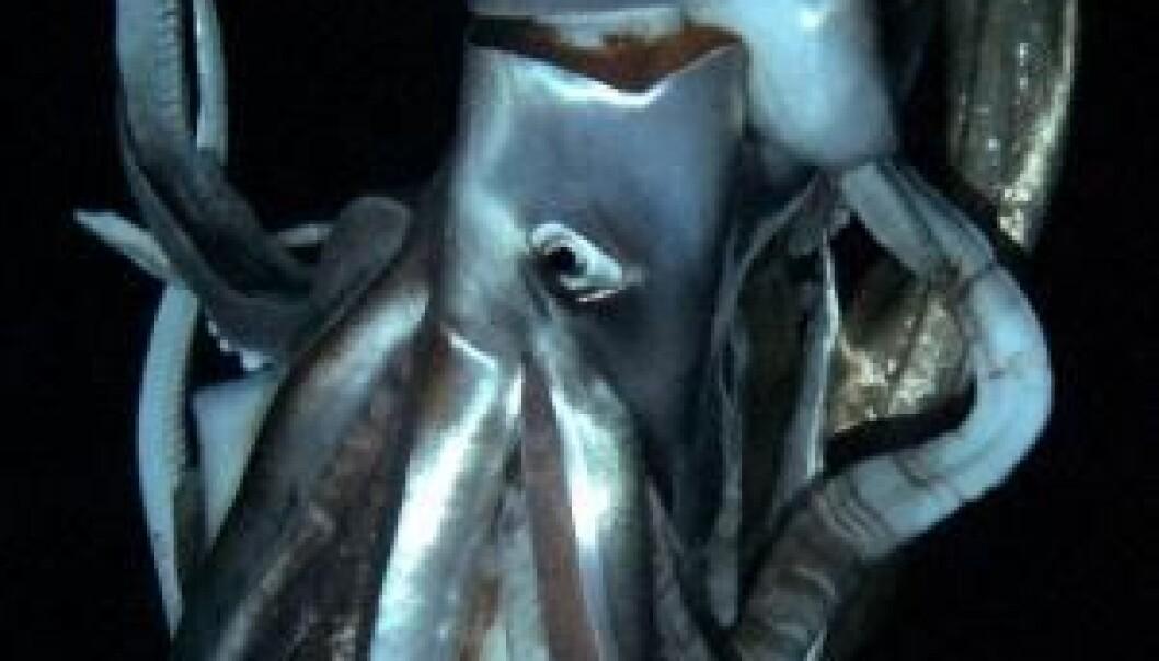 Da de iherdige vitenskaps- og filmfolkene endelig fikk bilder av det enorme dyret, var zoologen Tsunemi Kobodera med i ubåten. Han har tidligere klart å lokke en kjempeblekksprut opp til overflaten og filme den der. Han har også tidligere fotografert en av dem i sitt naturlige miljø, men det er første gang at han har fanget en på video. NHK/NEP/Discovery Channel