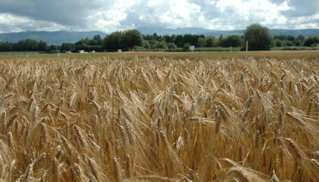 Kan vi produsere mer korn i Norge?