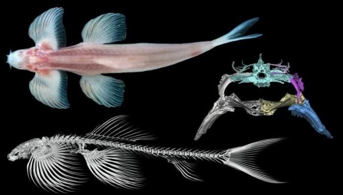 Øverst er Cryptotora thamicola sett ovenfra. Til høyre er et bilde av fiskens bekkenområde fra en CT-scanning. Nederst ser du en CT-skanning av hele fiskens skjelett.