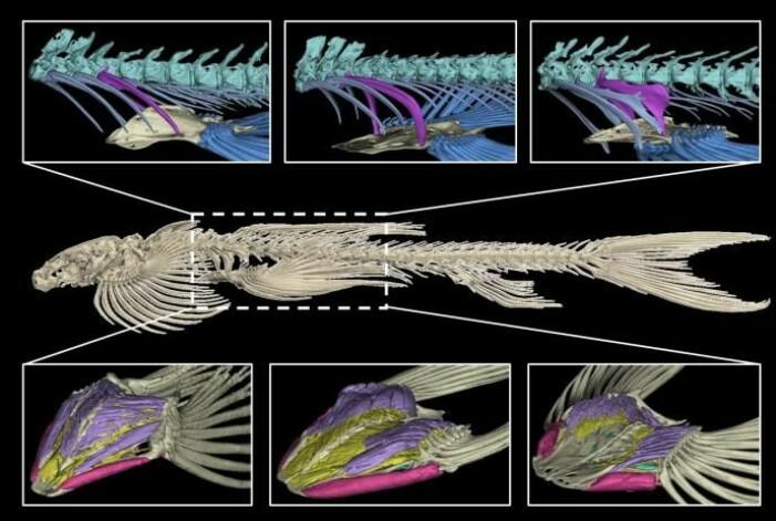Dette bildet viser beinbygningen til ulike arter i Balotoridae-familien, og hvordan de er koblet til finnene. Nederst til venstre viser oppbygningen forskerne mener er minst gunstig for å gå på land. Nederst til høyre er mest egnet.