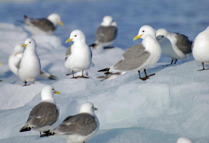 Livslengden hos krykkja kan bli påvirket av stress i hekketiden og hvor de flyr. (Foto: Norsk polarinstitutt)