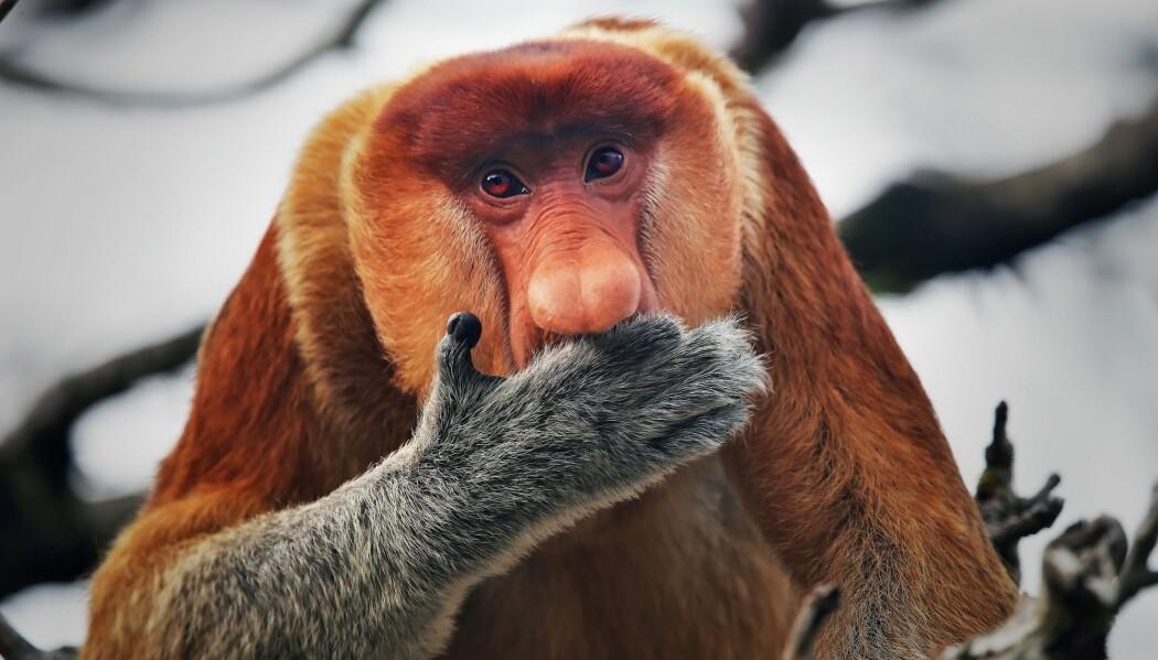 Denne rare apen med lang nese er en av artene som står i fare for å dø ut. Den kalles proboscis-ape. De siste 30 - 40 årene har antallet gått ned med over 70 prosent.