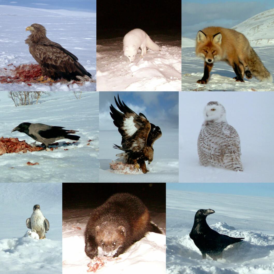 Et knippe av rovdyrarter som er forekommer på tundraen i lav-Arktis om vinteren. Fra øvre venstre til nedre høyre hjørne: havørn, fjellrev, rødrev, kråke, kongeørn, snøugle, jaktfalk og ravn. Alle bildene er tatt av automatiske fotobokser som er plassert foran åter på Varangerhalvøya i løpet av det internasjonale Polaråret. Foto: Fjellrevprosjektet, UiT (Foto: UiT Norges arktiske universitet)