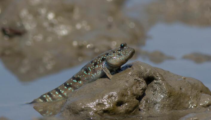 Slamkryperen lever livet sitt i gjørma, både over og under vann. Over vann finner slamkryperhannen dama si - og så graver de en hyggelig, liten dam sammen og legger egg.