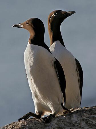 Lomvi er en av artene i Norge som det har blitt færre av.