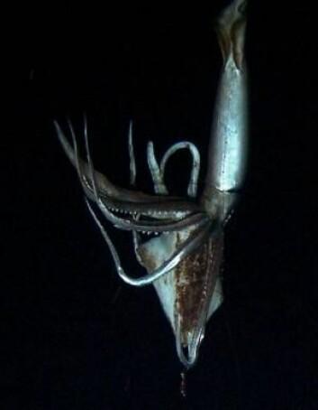 Den eneste blekkspruten som er større enn kjempeblekkspruten, er kolossblekkspruten, som bare er blitt observert svært få ganger. (Foto: NHK/NEP/Discovery Channel)
