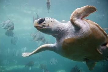 Havskilpadden glattkarett er et av dyrene som trolig navigerer ved hjelp av jordmagnetismen. (Foto: ukanda/Wikimedia Creative Commons)