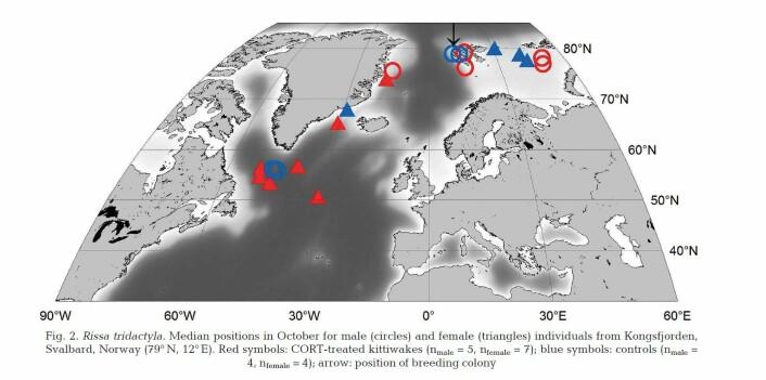 Fuglenes posisjoner i slutten av oktober. Det var perioden hvor de fleste krykkjene startet å migrere fra Arktis for å tilbringe vinteren lengre sør. Pilen viser lokaliseringen av hekkekolonien i Kongsfjorden på Svalbard. Fugler som fikk ekstra stresshormon i hekketiden er angitt med røde symboler. Hunnene er trekanter og hannene er sirkler. (Foto: Børge Moe)