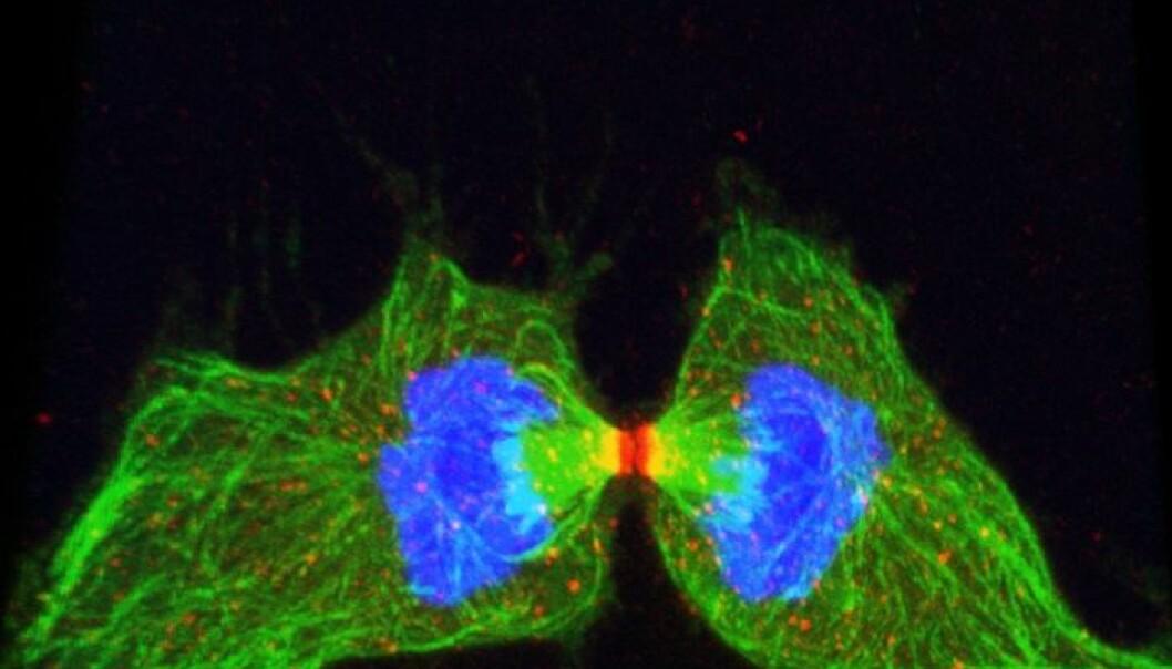 Det siste trinnet i celledelingen, der dattercellene fysisk skilles, kalles cytokinese. Ellen Skarpen