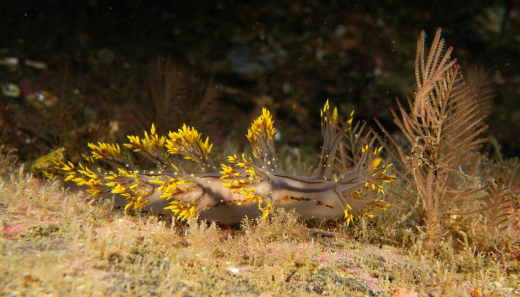 Den nye arten har fått navnet Dendronotus yrjargul. Yrjar etter det gamle navnet på Ørland og gul etter de tydelige gule eller gylne fargetegningene.