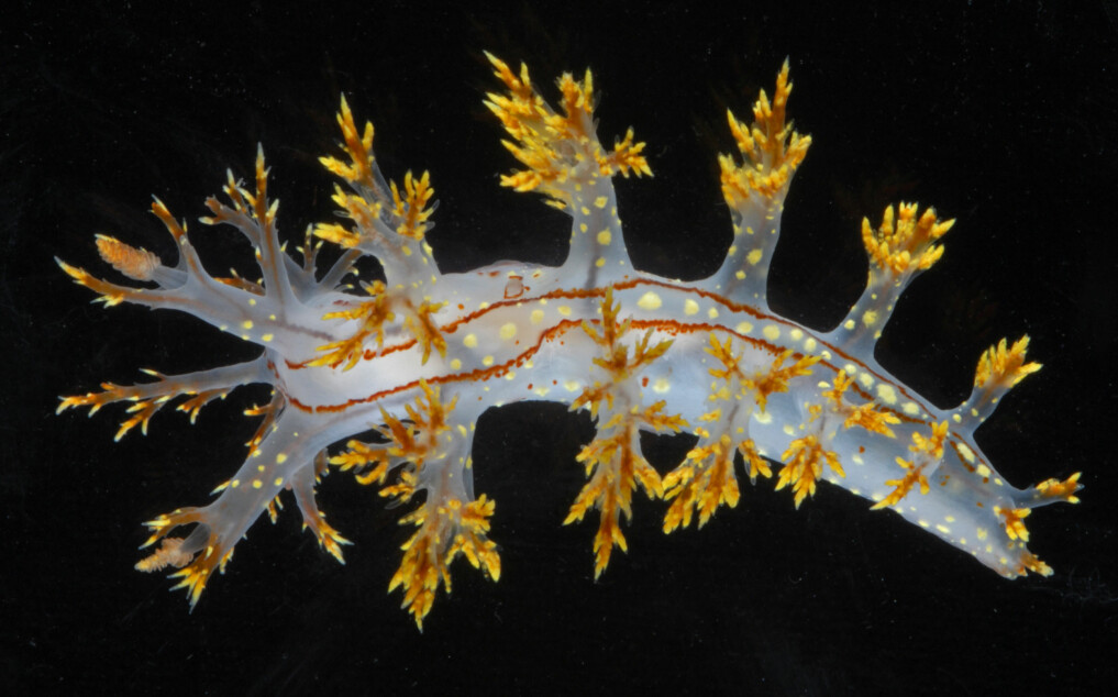 Dendronotus yrjargul's white, almost transparent, body with clearly marked yellow markings distinguish it from other species. It also has two sharp brown lines along its back and brown stripes along the edges of its feet.