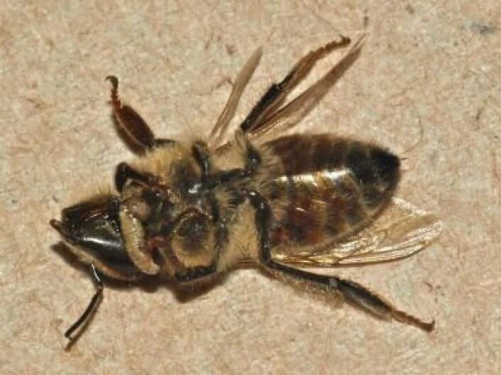 Død zombiefisert bie med en fluelarve tytende ut fra halsgropa. (Foto: John Hafernik)