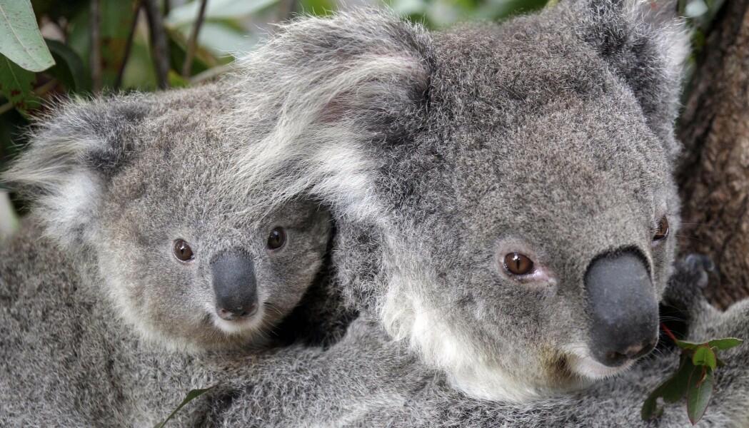 En studie kom i 2015 fram til at det er best å bruke maksimalt 1,7 prosent av budsjettet på forskning og overvåkning av koala.