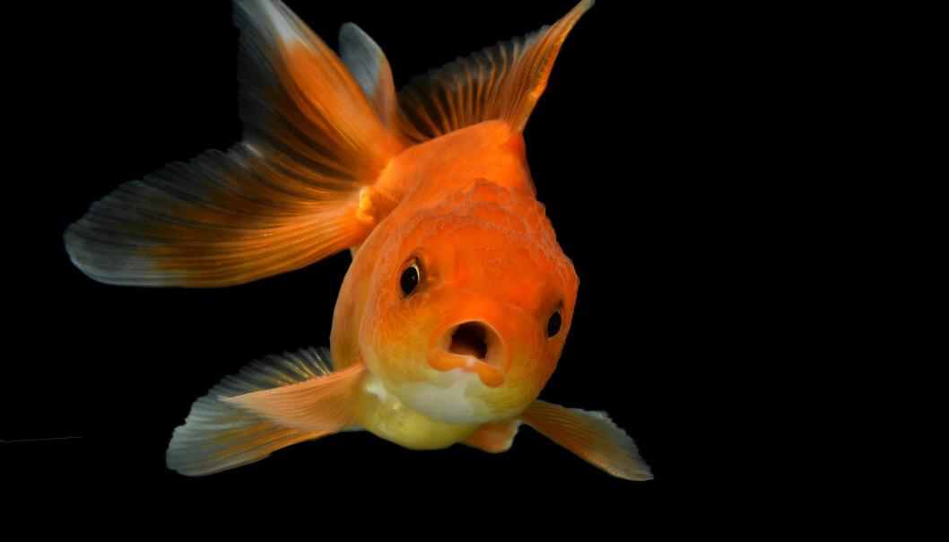 Trodde du at gullfisken ikke husker noen ting? Det er feil, mener forskere.