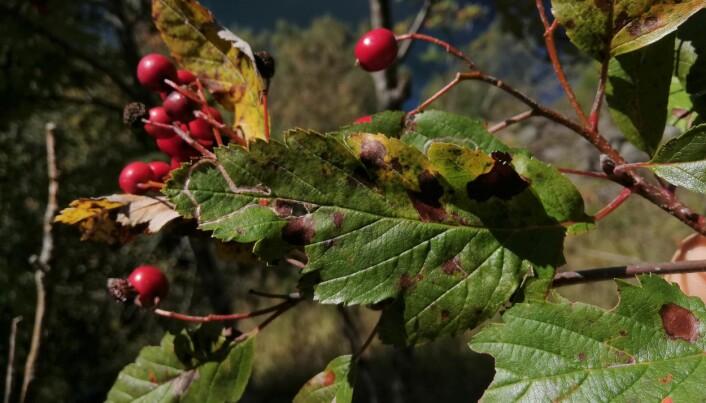 Sogneasal har karakteristiske, langsmale blad med flikar som ikkje går heilt inn til midtnerven, og store raude frukter på raude stenglar. Foto: Espen S. Værland.