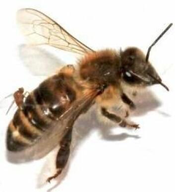 Bie med parasittflue på ryggen. (Foto: Christopher Quock)