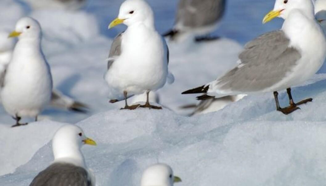 Livslengden hos krykkja kan bli påvirket av stress i hekketiden og hvor de flyr. Norsk polarinstitutt