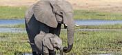 Gåten løst: Blågrønnbakterier stod bak elefantdød, sier botswanske myndigheter