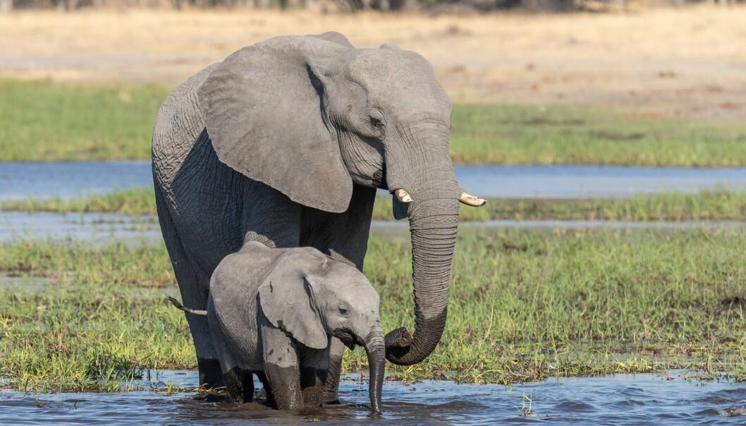 Flere elefanter i Okavango-deltaet døde av en ukjent årsak tidligere i år.