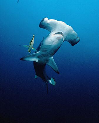 Visste du at hammerhaien er ingrediens i en svært populær rett i Kina: haifinnesuppe.