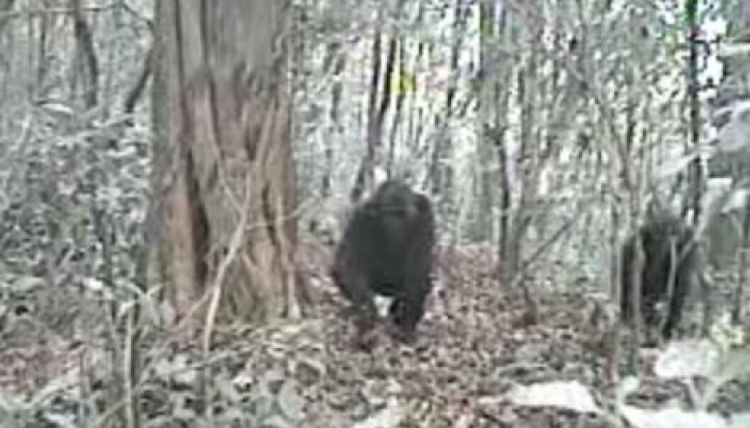 Verdens sjeldneste gorilla fanga på film