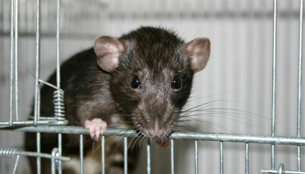 """Vi vet ikke om denne rotta drømmer om å motta en nobelpris. Men nyere forskning tyder likevel på at den kan være i stand til å vurdere fremtidige mulige scenarioer. <a href=""""http://commons.wikimedia.org/wiki/File:Dumbo_rat.jpg"""">Oskila / wikimedia commons</a>"""
