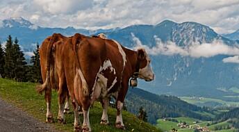 Forsker vil bruke virus i kampen mot metanraping fra kuer