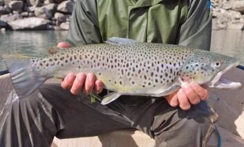 Stor fiskespisende ørret ble undersøkt i studien. (Foto: Eirik Fjeld, Niva)