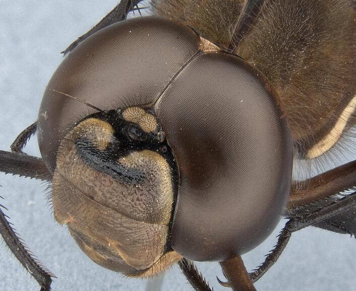 Øyenstikkere har noen av de beste fasettøynene vi kjenner til. De kan ha flere titalls tusen linser i hvert øye. Dette er arten Aeshna brevistyla. (Foto: Alexis Tindall)