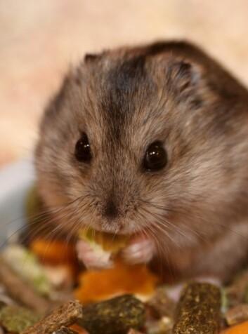 Mus har stort sett alltid en matskål stående innen rekkevidde. Overmette mus reagerer kanskje annerledes på medisiner enn artsfrender med mer normalt matinntak. (Foto: Colourbox)