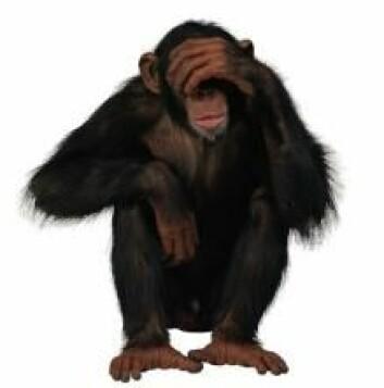 Mennesket er ikke alene om å ha bevissthet. Forsøk viser at aper også kan lære fra seg, planlegge, ta imot kunnskap og videreføre kultur. De har med andre ord også bevissthet. (Foto: Colourbox)