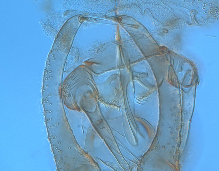 Denne lille krabaten, som ikke er beskrevet tidligere, fikk navnet Psychoda cultella Salmela. Den nye arten ble plassert i slekten Psychoda, og det latinske artsnavnet cultella betyr liten kniv. Artsnavnet sikter til formen på en del av parringsorganet til hannen, som er noe av det forskerne ser på for å skille arter fra hverandre. (Foto: Gunnar M. Kvifte)