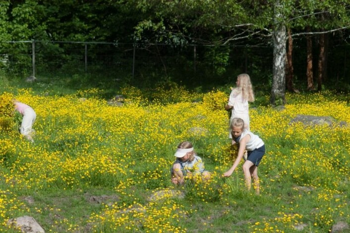 De gule blomstene blomstrer gjennom hele sommeren. (Foto: E. Fløistad, Bioforsk)