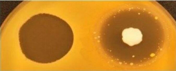 Den nye formuleringen med bakteriosiner (til venstre) er mer effektiv mot MRSA enn kommersiell Fucidin-krem (til høyre), og fører ikke til utvikling av resistente kolonier.