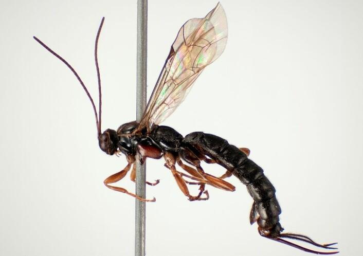 Larvene til Clistopyga incitator utvikles i eggsekken til edderkopper. (Foto: Karsten Sund, Naturhistorisk museum)