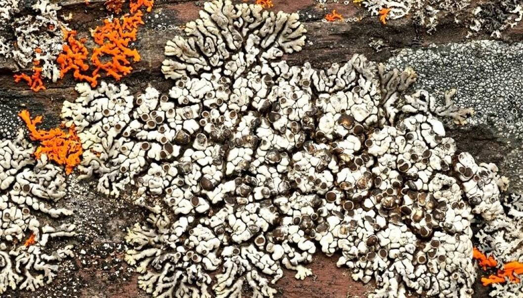 Skulle du først støte på skorpelarven Lobothalia alphoplaca, er ikke dette en art man går forbi, stor og vakker som den er. Einar Timdal/wikimedia commons