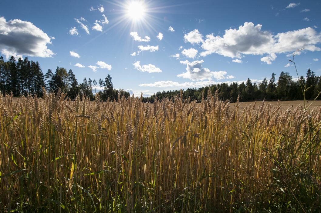 Norge har svært lite dyrkbar jord i reserve, noe som betyr at produksjonen av matkorn ikke kan økes vesentlig. Her en hvetåker i Ås i Akershus. (Foto: Lars Sandved Dalen / Skog og landskap)