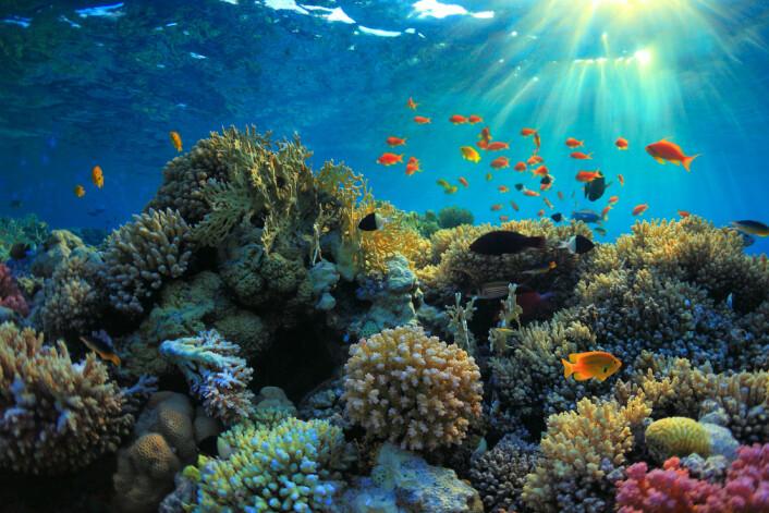 Korallrev utgjør mindre enn 0,1 prosent av havets overflate. Likevel er korallrev hjemsted for 25 prosent av alle fiskearter. (Foto: Microstock)