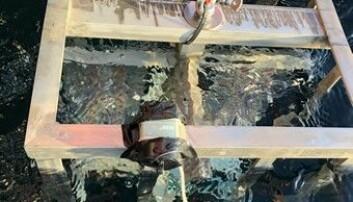 Riggen med rognkjeksegg går i vannet.