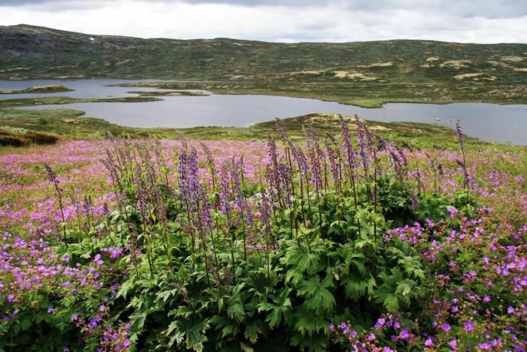Tyrihjelm på Hardangervidda. Skjønnheten skjuler et drama med sex, dødelig gift, humlen med Norges lengste tunge og frekke innbruddstyver.