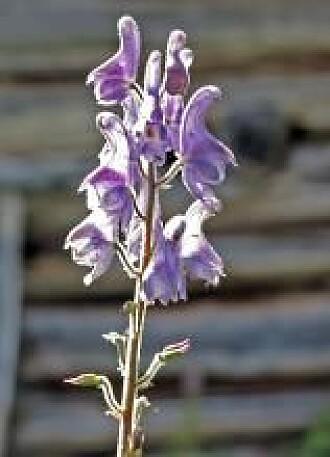 Tyrihjelmens blomst har både visir og hjelm.