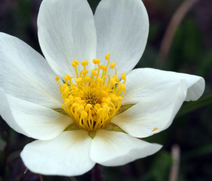 Reinrose er en vakker blomst - som også tiltrekker seg insekter.