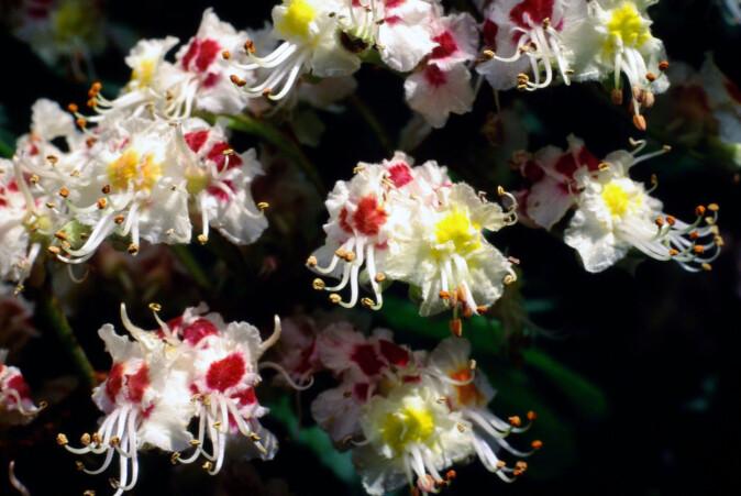 De røde flekkene på hestekastanje-blomstene er veiskilt som forteller biene at blomsten allerede har hatt besøk.