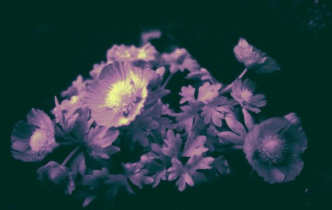 Issoleier fotografert med infrarødt filter avslører at dette er en «parabolblomst» som samler opp varmestråling i midten av blomsten.